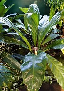 anthurium anthurium acaule in the anthuriums database