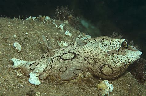 aplysia dactylomela clandestini  mediterraneo scubazone