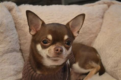 stunning lilac chihuahua  stud skegness lincolnshire
