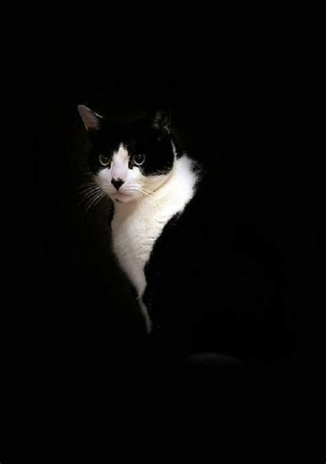 black and white cat black and white cat tuxedo cats pinterest