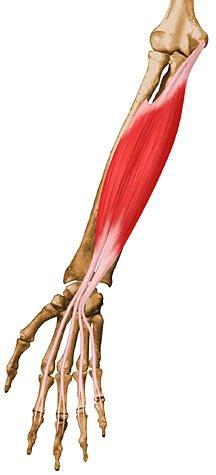 flexor digitorum superficialis anatomy orthobullets