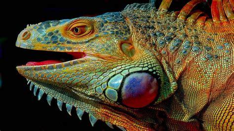 head  iguana lizard pied hd wallpaper wallpaperscom