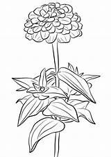 Zinnia Kolorowanki Kwiaty Cynni Dzieci Coloriages Supercoloring sketch template