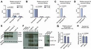 Intracellular Accumulation Of Subviral Hbsag Particles And