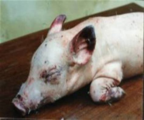 salmonellosis  pigs maphavet veterinary joint stock