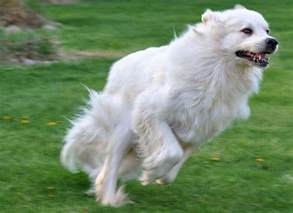 great pyrenees characteristics dog breeds at thepetowners