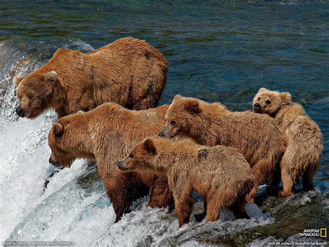 National Geographic Animal Wallpapers - bears waterfall national geographic baby animals