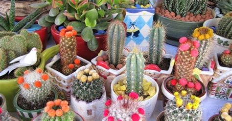 membuat kaktus  souvenir sebagai peluang bisnis
