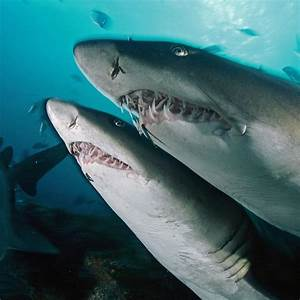Tiger Shark Vs Great White | www.pixshark.com - Images ...