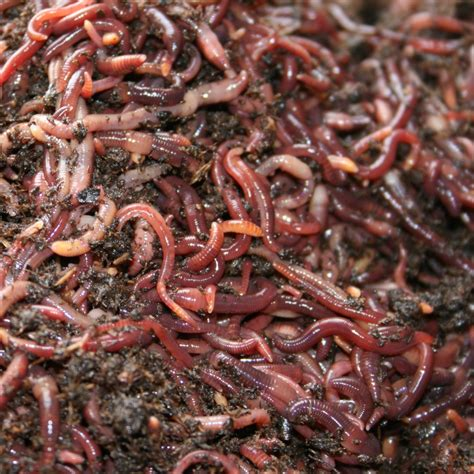 wigglers 1000 worms compost