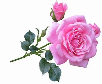 Rose Pink Flower Stem Transparent Flowers Background