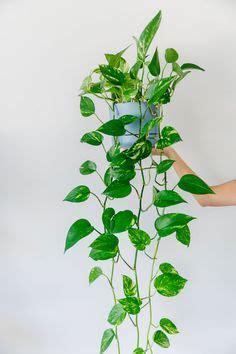 ide terbaik tanaman rumah pinterest tanaman