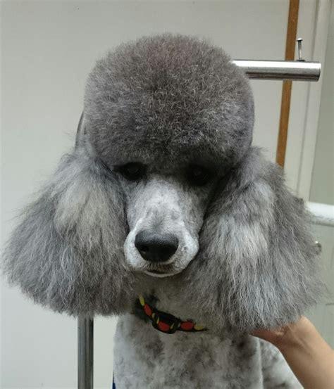 poodle dog groomer  westminster bc  westminster