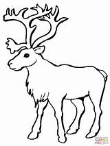 Caribou Coloring Reindeer Pages Outline Clip Christmas Printable Flying Getcoloringpages Elk Animals sketch template