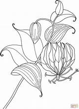 Lily Coloring Gloriosa Tropical Pages Flower Lilies Drawing Glory Calla Tiger Outline Simple Printable Rothschildiana Flowers Tattoo Protea Sketch Getdrawings sketch template