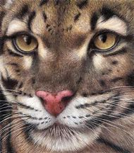 Leopard Colored Pencil Drawing