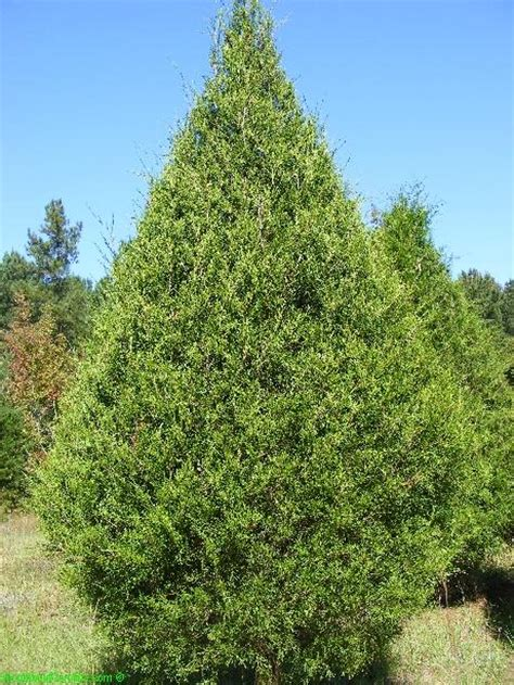 Leyland Cypress Christmas Trees Louisiana by Old Congaree Run Christmas Tree Farm Eastover Sc 29044