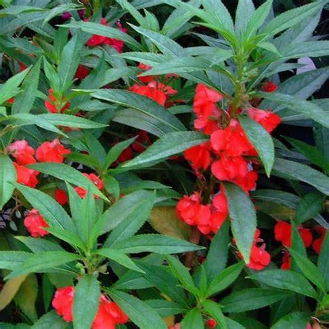 katalog gambar  harga bunga impatiens ibad garden