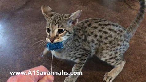Growling Cat Playing Tug Of War [] F2 Savannah Cat Youtube