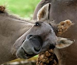 Konik, Horse