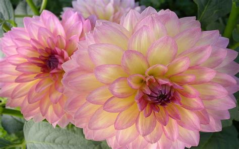 Dahlia Two Colors Petals With Gentle Yellow Color Pink