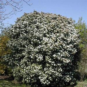Laurier Tin : viburnum tinus vente laurier tin viorne thym ~ Mglfilm.com Idées de Décoration