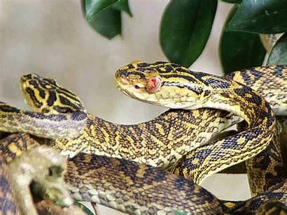 Habu Okinawa Snake Snakes Venomous Wildlife Museum
