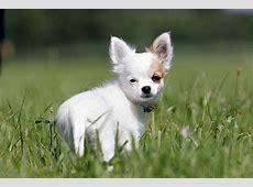 Chihuahua Welpen Tipps und tolle Fotos