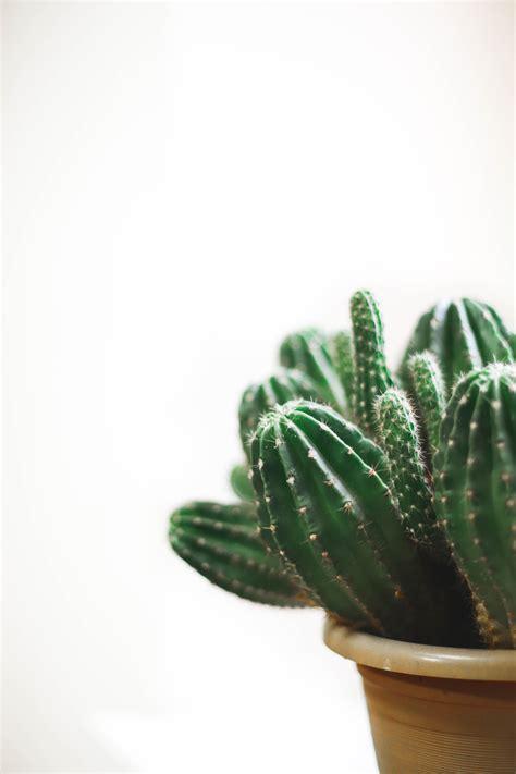 closeup photo  cactus plant   pot  stock photo