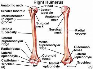 1000  Images About Arm Bones On Pinterest