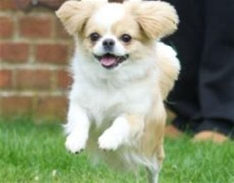 cheeks dog pekingese chihuahua mix info temperament