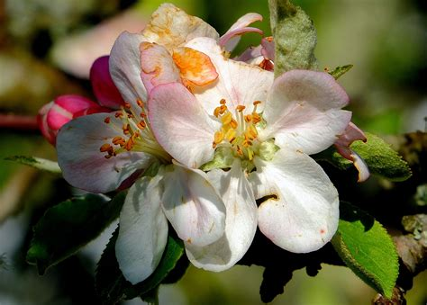 Free Images : nature branch blossom fruit flower