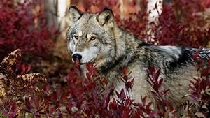Photography NATURE WORLD PEOPLE BEAUTY: Wolf Photography