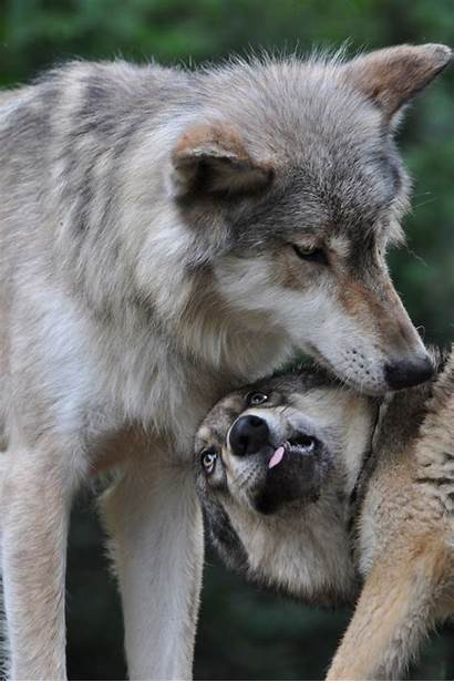 Wolf Pup Communication Alpha Glossary Pack Dominant
