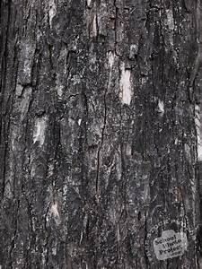 Maple, Tree, Free, Stock, Photo, Image, Picture, Tree, Bark