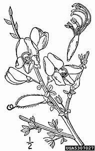 Scotch Broom  Cytisus Scoparius  Fabales  Fabaceae