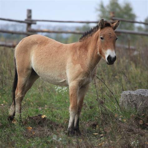 horse przewalski animalia bio habitat facts diet