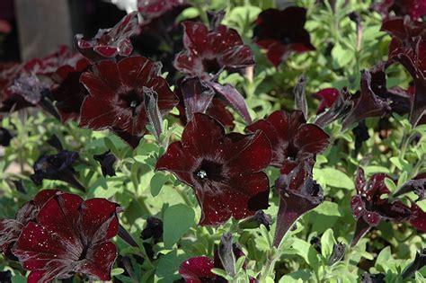 Crazytunia Black Mamba Petunia (Petunia 'Crazytunia Black