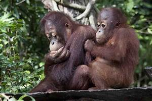 Singapore Zoo and breakfast with the orangutans – bontaks ...