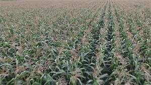 Low Aerial Flyover Of A Corn Field Stock Footage Video ...