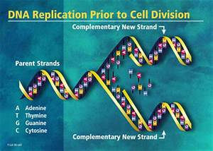 The Replication Of Dna  The Dna Replication Process And