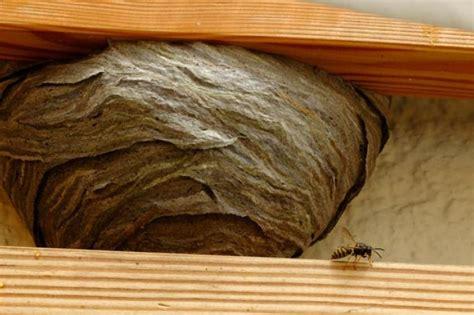 wer entfernt wespennester am haus tieren in not helfen nabu bw