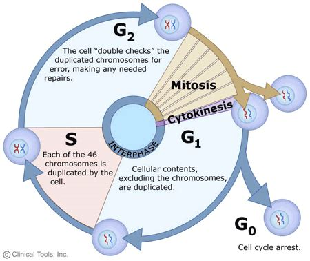The Cell Cycle, Mitosis And Meiosis — University Of Leicester