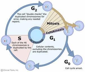 Science For Passion  Nascita Di Nuove Cellule  La Mitosi