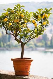 Baum Im Topf : zitronenbaum im topf tipps tricks damit er bestens gedeiht ~ Michelbontemps.com Haus und Dekorationen