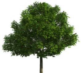 realistic tree png clip best web clipart