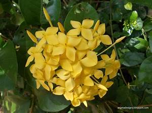 Botanical Names: Ixora Maui Sunset Yellow