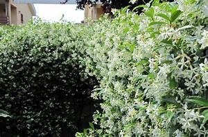 jasmin etoile planter et entretenir ooreka With idee de plantation pour jardin 18 jasmin etoile plantation taille et entretien