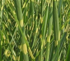 Miscanthus Sinensis Strictus : miscanthus sinensis strictus porcupine grass from pleasant ~ Michelbontemps.com Haus und Dekorationen