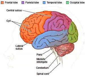 The Cerebral Hemispheres Each cerebral hemisphere is ...